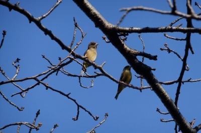 soku_35333.jpg :: 動物 野鳥 アトリ科 カワラヒワ♀