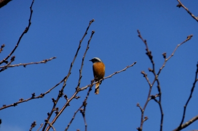 soku_35334.jpg :: 動物 鳥 野鳥 自然の鳥 ジョウビタキ♂
