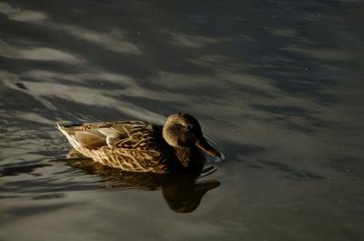 soku_35343.jpg :: 動物 鳥 野鳥 自然の鳥 マガモ♀
