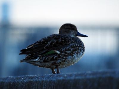 soku_35352.jpg :: 動物 鳥 野鳥 自然の鳥