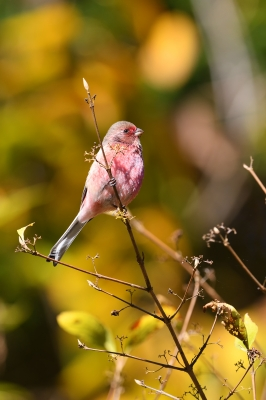 soku_35359.jpg :: 動物 鳥 野鳥 自然の鳥 ベニマシコ
