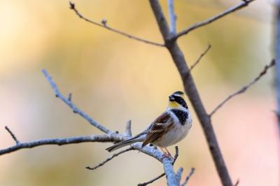 soku_35361.jpg :: 動物 鳥 野鳥 自然の鳥 ミヤマホオジロ