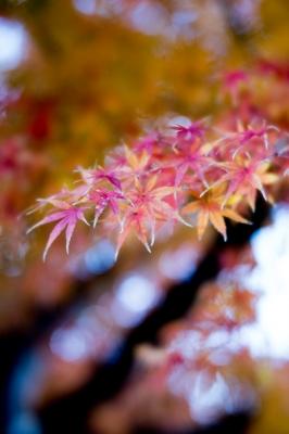 soku_35362.jpg :: K-1 LENSBABY Velvet56mm f4 紅葉 LR現像