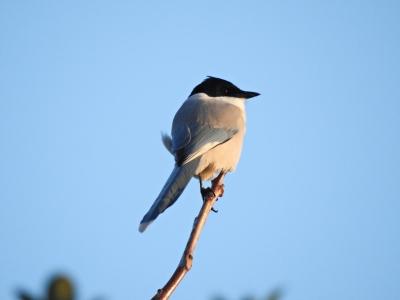 soku_35366.jpg :: 自然の鳥 野鳥 オナガ