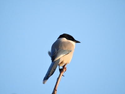 soku_35367.jpg :: 自然の鳥 野鳥 オナガ