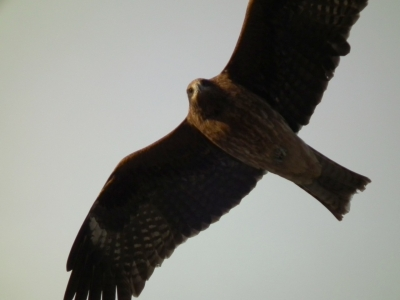soku_35374.jpg :: 動物 鳥 猛禽類
