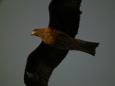 soku_35375.jpg :: 動物 鳥 猛禽類