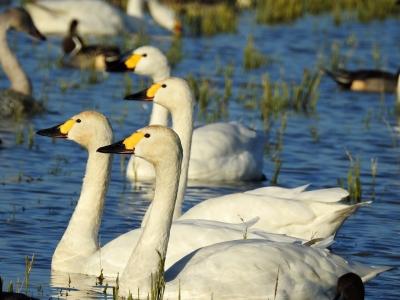 soku_35377.jpg :: コハクチョウ 動物 鳥 野鳥 自然の鳥