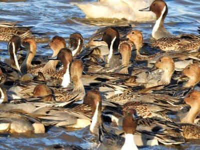 soku_35381.jpg :: オナガガモ 動物 鳥 野鳥 自然の鳥