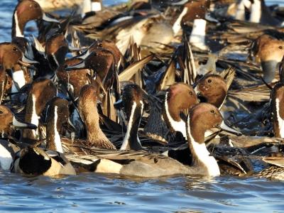 soku_35382.jpg :: オナガガモ 動物 鳥 野鳥 自然の鳥