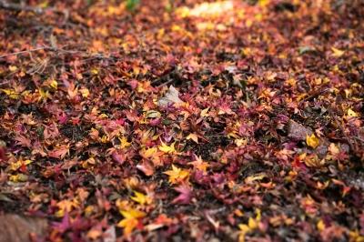 soku_35383.jpg :: 風景 自然 紅葉 赤い紅葉