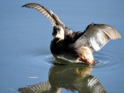 soku_35390.jpg :: カイツブリ 動物 鳥 野鳥 自然の鳥