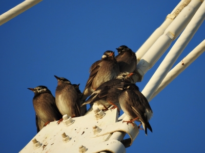 soku_35395.jpg :: ムクドリ 動物 鳥 野鳥 自然の鳥