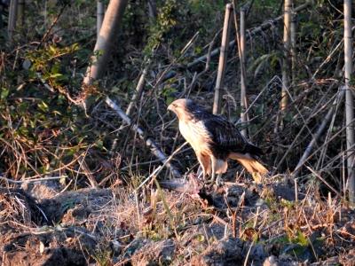 soku_35396.jpg :: ノスリ 動物 鳥 野鳥 自然の鳥