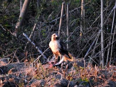 soku_35397.jpg :: ノスリ 動物 鳥 野鳥 自然の鳥
