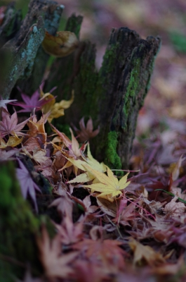 soku_35399.jpg :: 風景 自然 森林 紅葉林