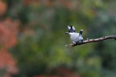 soku_35406.jpg :: 動物 鳥 野鳥 自然の鳥 ヤマセミ