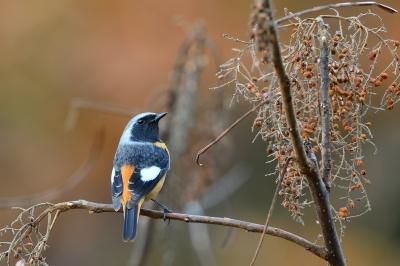 soku_35407.jpg :: 動物 鳥 野鳥 自然の鳥 ジョウビタキ