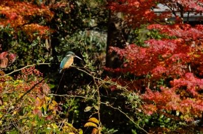 soku_35410.jpg :: 動物 野鳥 カワセミ科 カワセミ♂ 紅葉