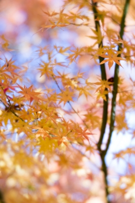 soku_35417.jpg :: K-1 LENSBABY Velvet56mm f2.0 紅葉 LR現像