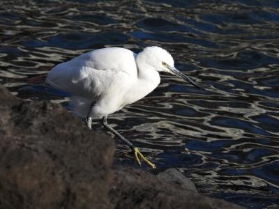 soku_35426.jpg :: 動物 鳥 野鳥 自然の鳥 コサギ