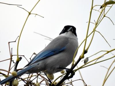 soku_35428.jpg :: 動物 鳥 野鳥 自然の鳥 オナガ