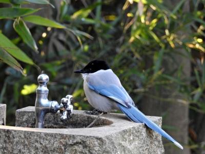 soku_35429.jpg :: 動物 鳥 野鳥 自然の鳥 オナガ