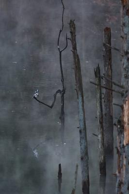 soku_35430.jpg :: 動物 鳥 野鳥 自然の鳥 ヤマセミ
