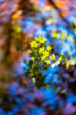 soku_35442.jpg :: K-1 LENSBABY Velvet56mm f1.6 開放 紅葉 LR現像