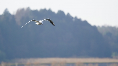 soku_35448.jpg :: 動物 鳥 鷗 カモメ ウミネコ