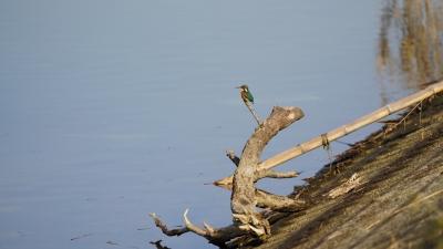 soku_35451.jpg :: 動物 鳥 野鳥 自然の鳥 カワセミ