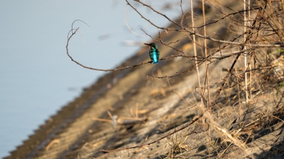 soku_35452.jpg :: 動物 鳥 野鳥 自然の鳥 カワセミ