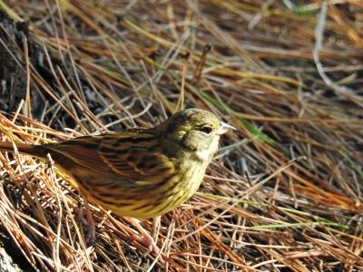 soku_35465.jpg :: 動物 鳥 野鳥 自然の鳥 アオジ