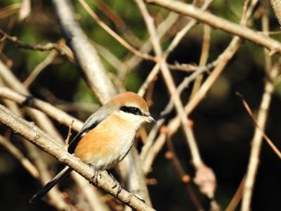soku_35466.jpg :: 動物 鳥 野鳥 自然の鳥 モズ