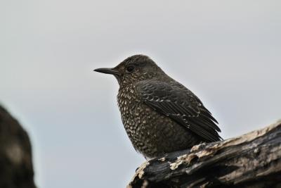 soku_35473.jpg :: 動物 鳥 野鳥 自然の鳥 未記入鳥