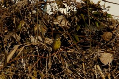 soku_35475.jpg :: 動物 野鳥 ホオジロ科 アオジ♀