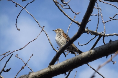 soku_35476.jpg :: 動物 野鳥 ヒタキ科 ツグミ