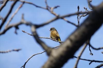 soku_35477.jpg :: 動物 野鳥 アトリ科 オオカワラヒワ♂