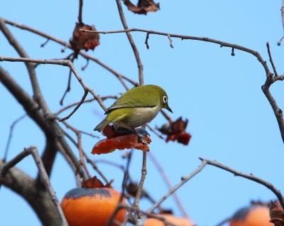 soku_35491.jpg :: 動物 鳥 野鳥 自然の鳥 ウグイス 鶯
