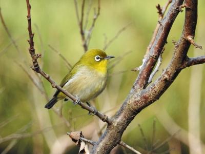 soku_35496.jpg :: 動物 鳥 野鳥 自然の鳥 メジロ