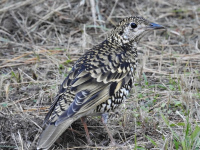 soku_35497.jpg :: 動物 鳥 野鳥 自然の鳥 トラツグミ