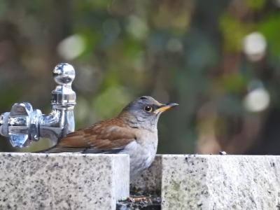 soku_35498.jpg :: 動物 鳥 野鳥 自然の鳥 シロハラ