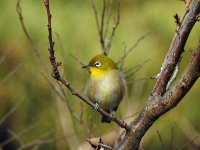 soku_35499.jpg :: 動物 鳥 野鳥 自然の鳥 メジロ