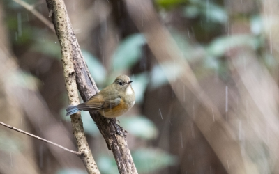 soku_35504.jpg :: 動物 鳥 野鳥 自然の鳥 ルリビタキ