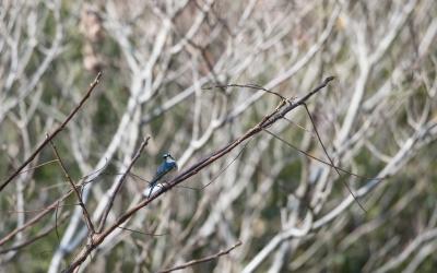 soku_35505.jpg :: 動物 鳥 野鳥 自然の鳥 ルリビタキ