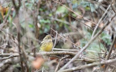 soku_35506.jpg :: 動物 鳥 野鳥 自然の鳥 アオジ