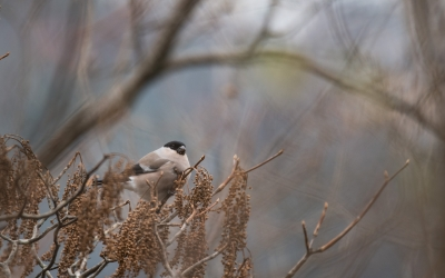 soku_35507.jpg :: 動物 鳥 野鳥 自然の鳥 ウソ
