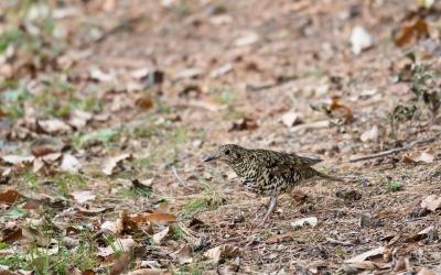 soku_35510.jpg :: 動物 鳥 野鳥 自然の鳥 トラツグミ