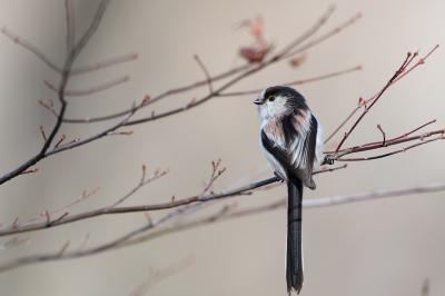 soku_35524.jpg :: 動物 鳥 野鳥 自然の鳥 エナガ