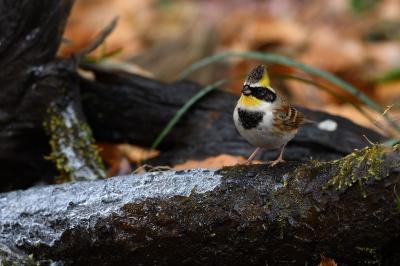soku_35525.jpg :: 動物 鳥 野鳥 自然の鳥 ミヤマホオジロ